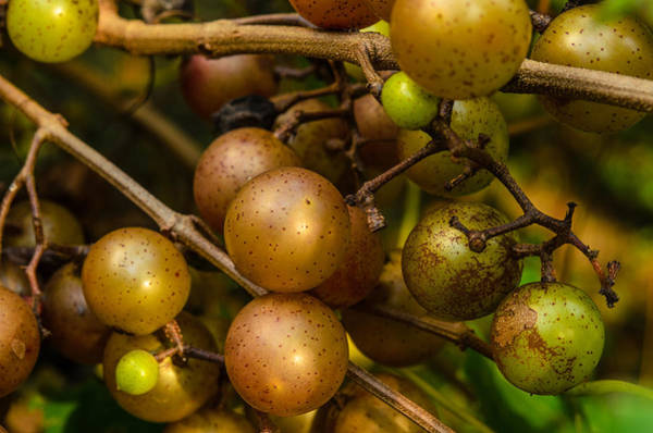 Muscadine Grapes Poster