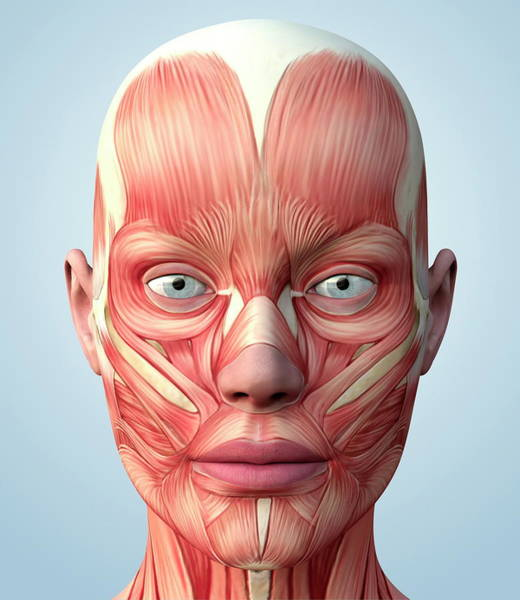 Muscular System Of The Head Poster