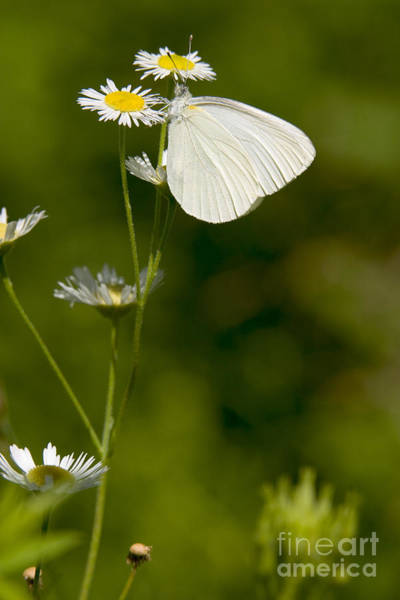 Mustard White Butterfly Poster