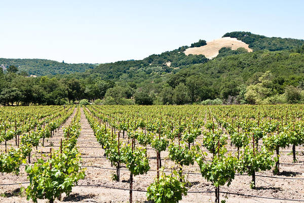 Napa Vineyard With Hills Poster