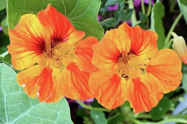 Nasturtium (tropaeolum Majus) Flowers Poster