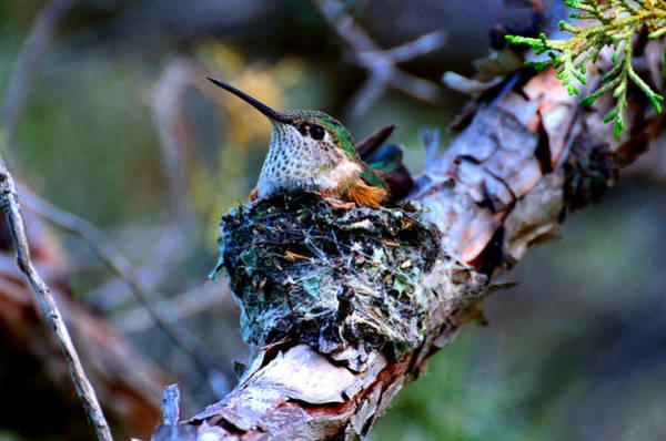 Nesting Hummingbird Poster