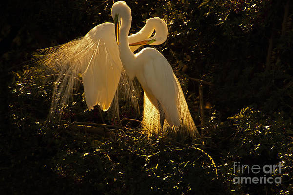 Nesting Pair Of Snowy Egrets Poster