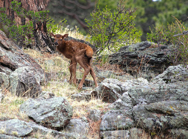 Poster featuring the photograph Newborn Elk Calf by Shane Bechler
