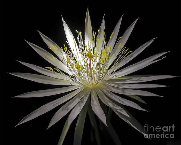 Night-blooming Cereus 1 Poster