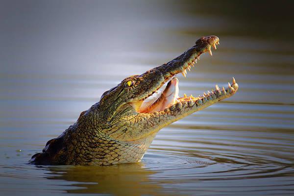 Nile Crocodile Swollowing Fish Poster