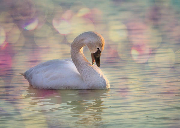 Poster featuring the photograph Shy Swan by Patti Deters