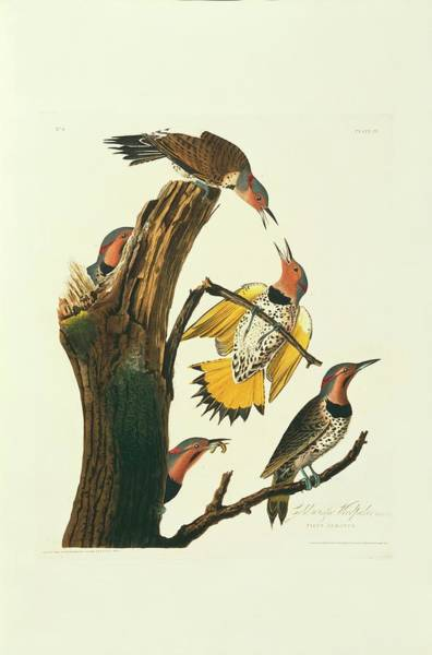 Northern Flicker Birds Poster