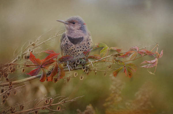 Northern Flicker In Fall Colors Poster