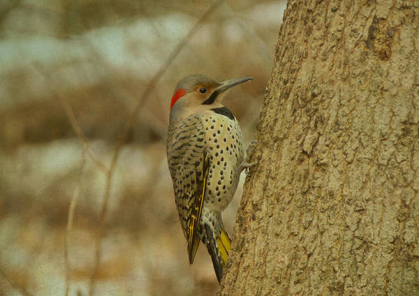 Northern Flicker On Tree Poster
