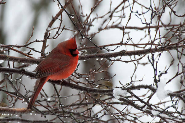 Northern Red Cardinal In Winter Poster