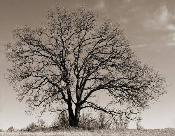 Oak In Sepia Poster