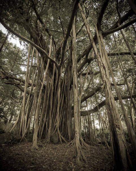 Old Banyan Tree Poster