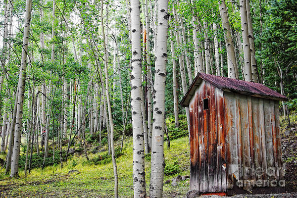 Old Outhouse Among Aspens Poster