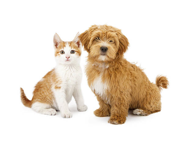 Orange And White Puppy And Kitten Poster
