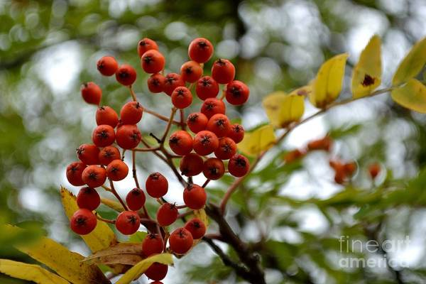 Orange Autumn Berries Poster