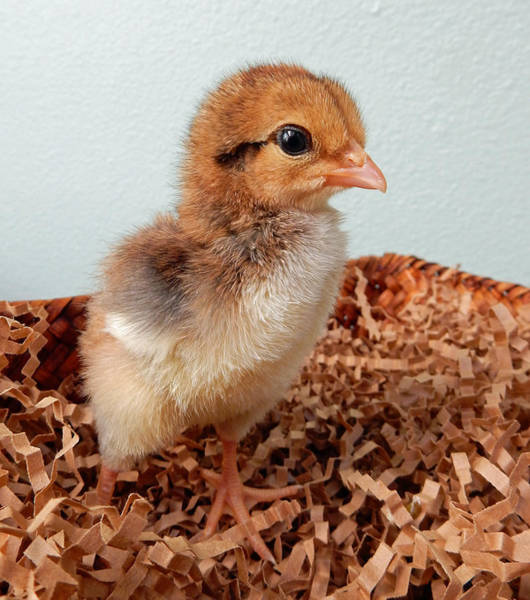 Orange Chick Poster