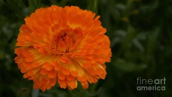 Orange Chrysanthemum Poster