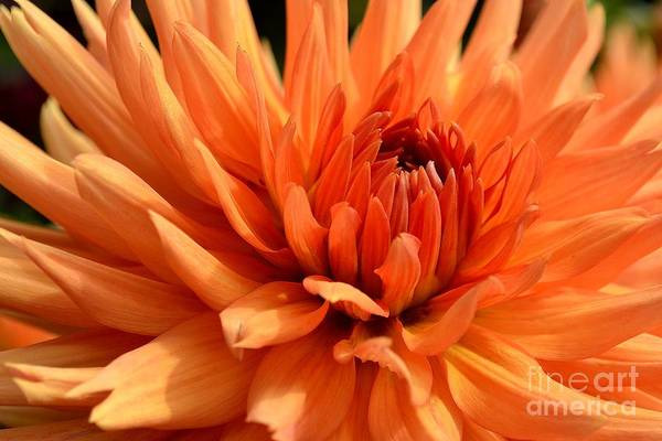 Poster featuring the photograph Orange Dahlia by Scott Lyons