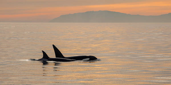 Orcas Off The California Coast Poster