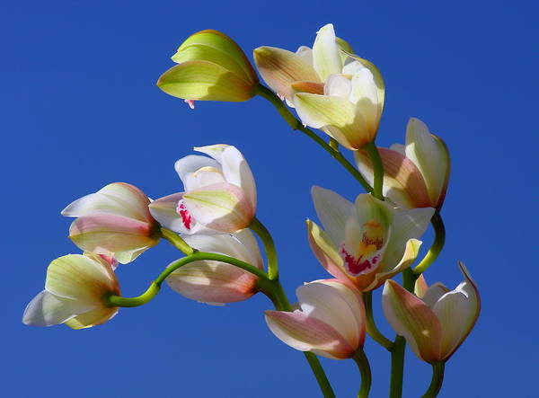 Orchids Against A Blue Sky Poster