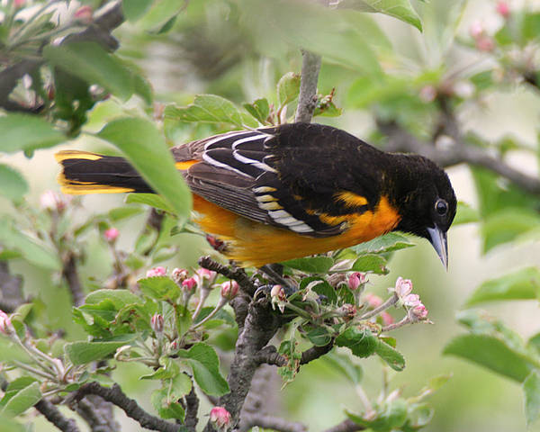 Oriole With Apple Blossoms Poster