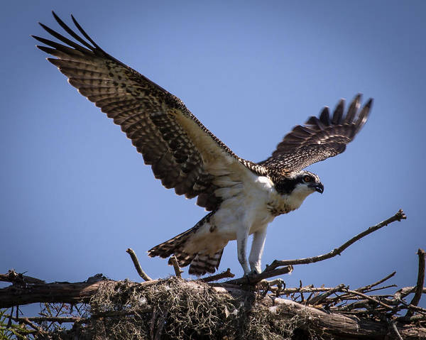 Osprey In Nest Ready To Fly Poster