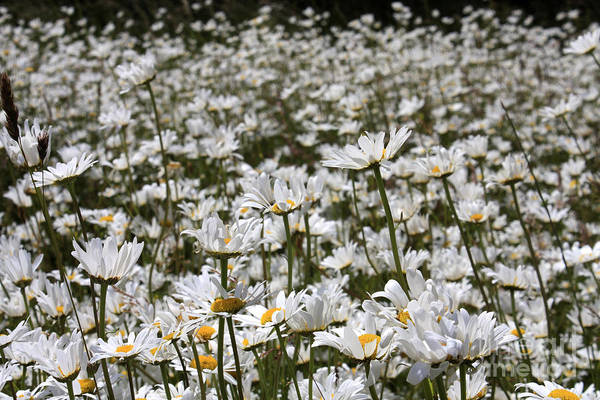 Ox Eye Daisies Poster