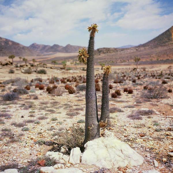 Pachypodium Namaquanum Poster