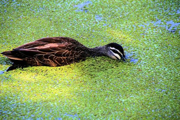 Pacific Black Duck In Algae Poster