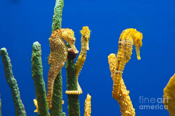 Pacific Seahorses Hippocampus Ingens Are Among The Giants Of Their World Poster
