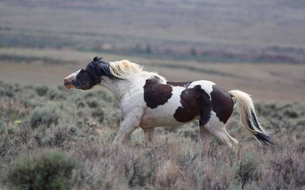 Paint Mustang Stallion Poster