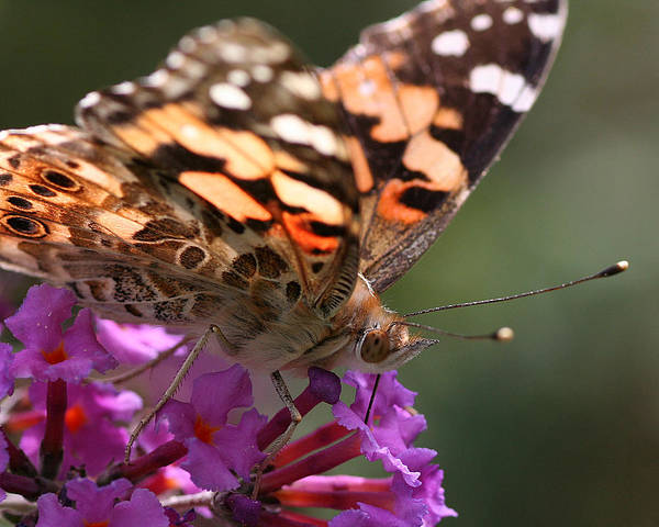 Painted Lady On Butterfly Bush Poster