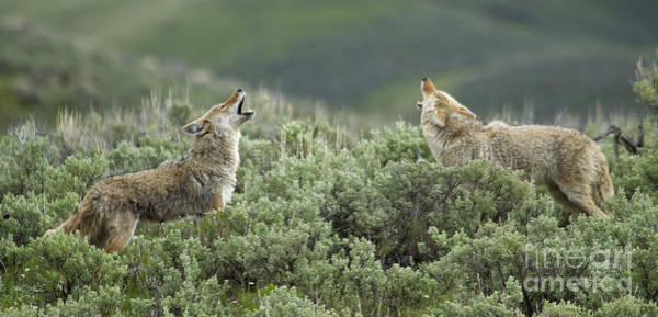 Pair Of Howling Coyotes   # Poster