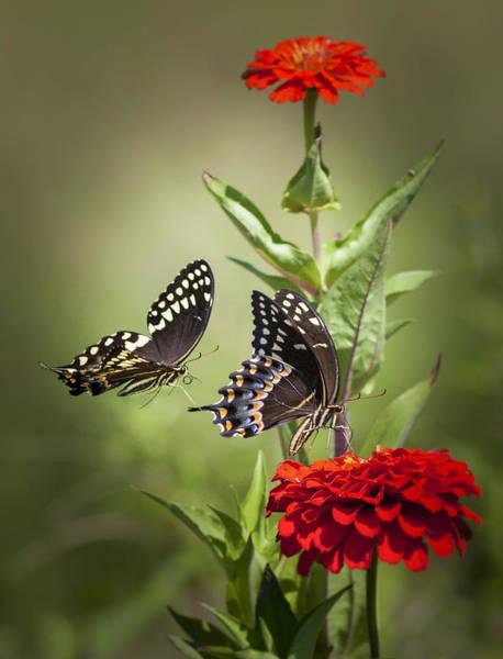 Palamedes Swallowtail Butterflies Poster