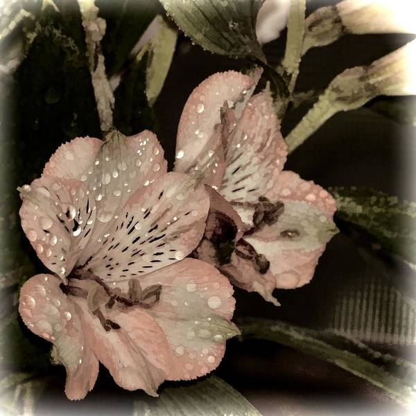 Pale Pink Lilies On Dark Background Poster