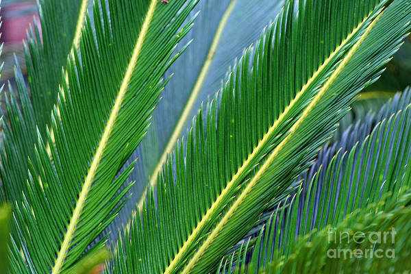 Palm Cycas Fronds Poster