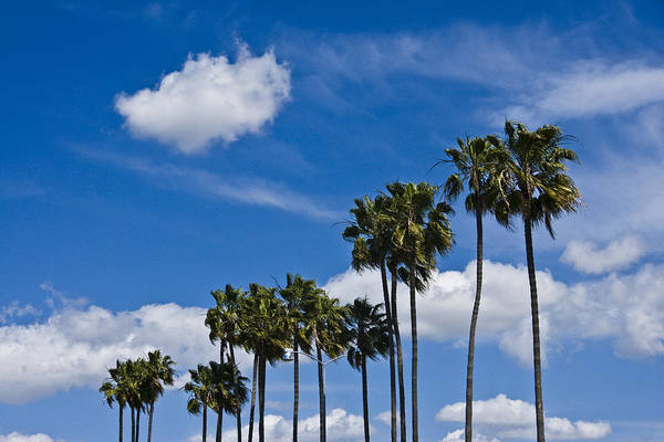 Palm Trees In San Diego California No. 1661 Poster