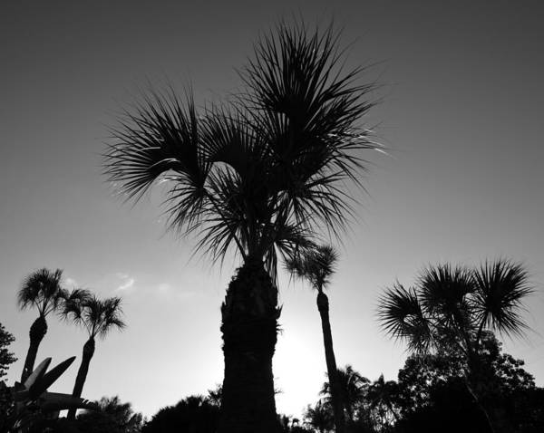 Palm Trees Reach For The Sky Poster