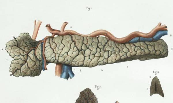 Pancreas Anatomy Poster