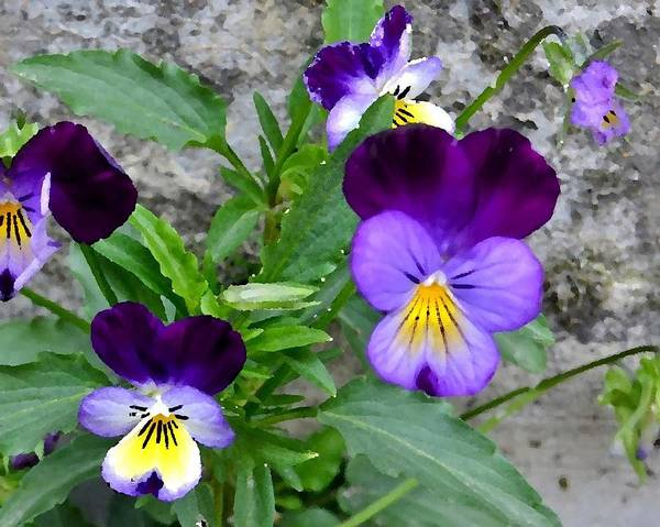 Pansies - Painterly Poster