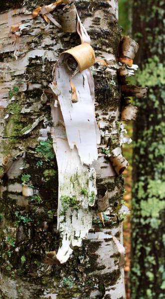 Peeling Birch Poster