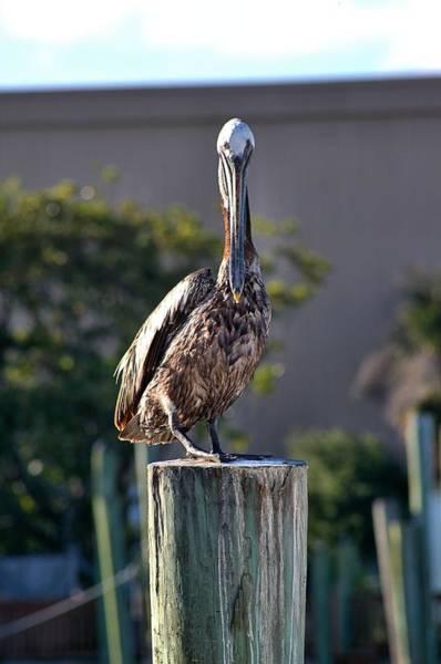 Pelican At Boat Dock Poster