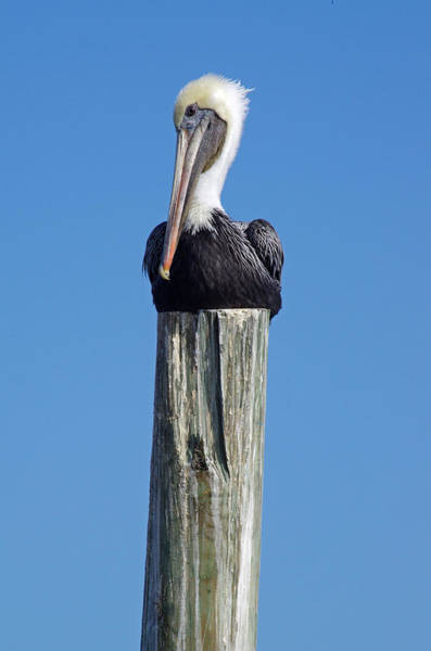 Pelican On Post Poster
