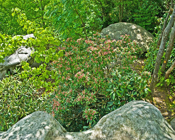 Pennsylvania State Flower Pla 537 Poster