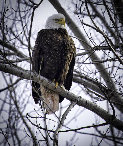 Perched Adult American Bald Eagle Poster