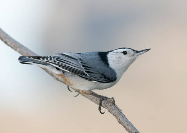 Perching Nuthatch Poster