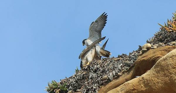 Peregrine Falcons - 5 Poster