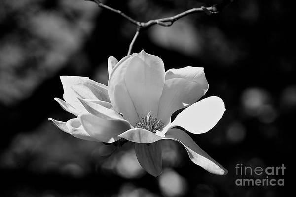 Perfect Bloom Magnolia In White Poster