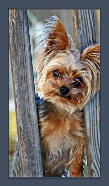 Poster featuring the photograph Perky Pup by Donna Proctor